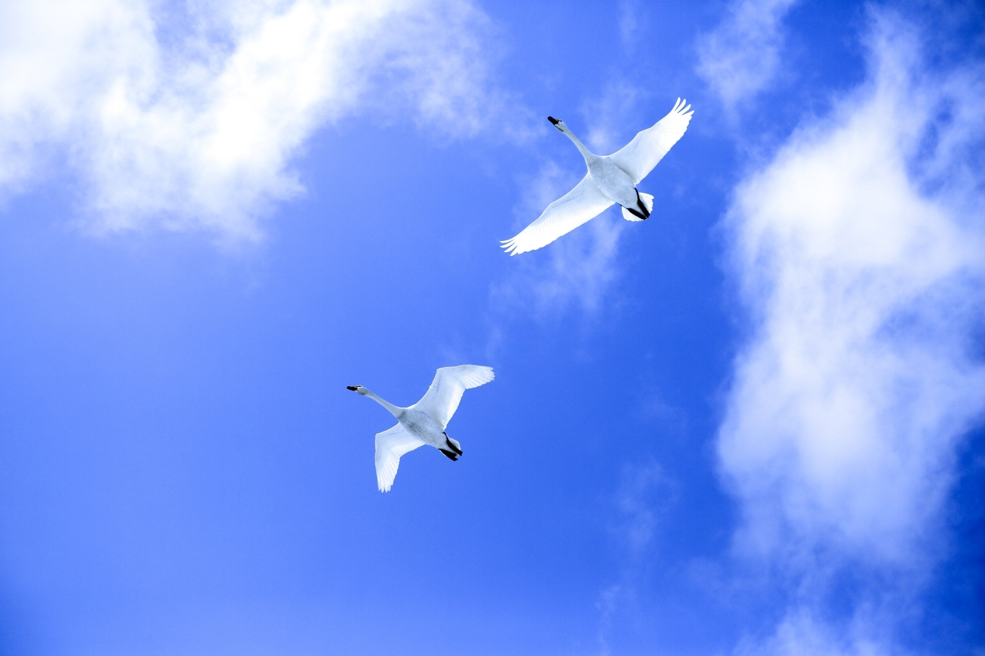 空を飛ぶ白鳥2羽.jpg